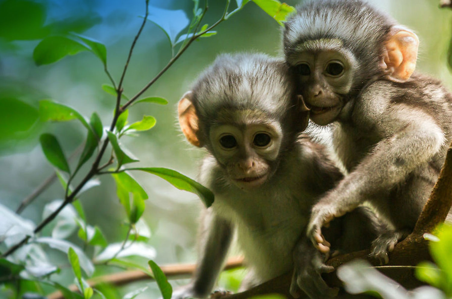 vervet-monkeys